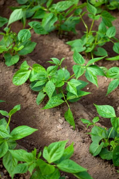 planting a vegetable garden for beginners